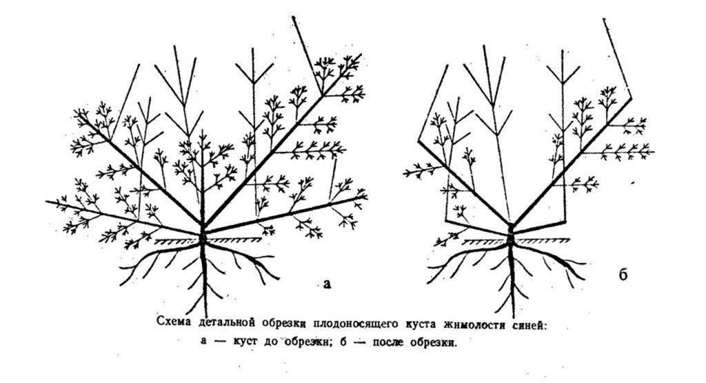 Гортензия метельчатая: посадка и уход, описание сортов