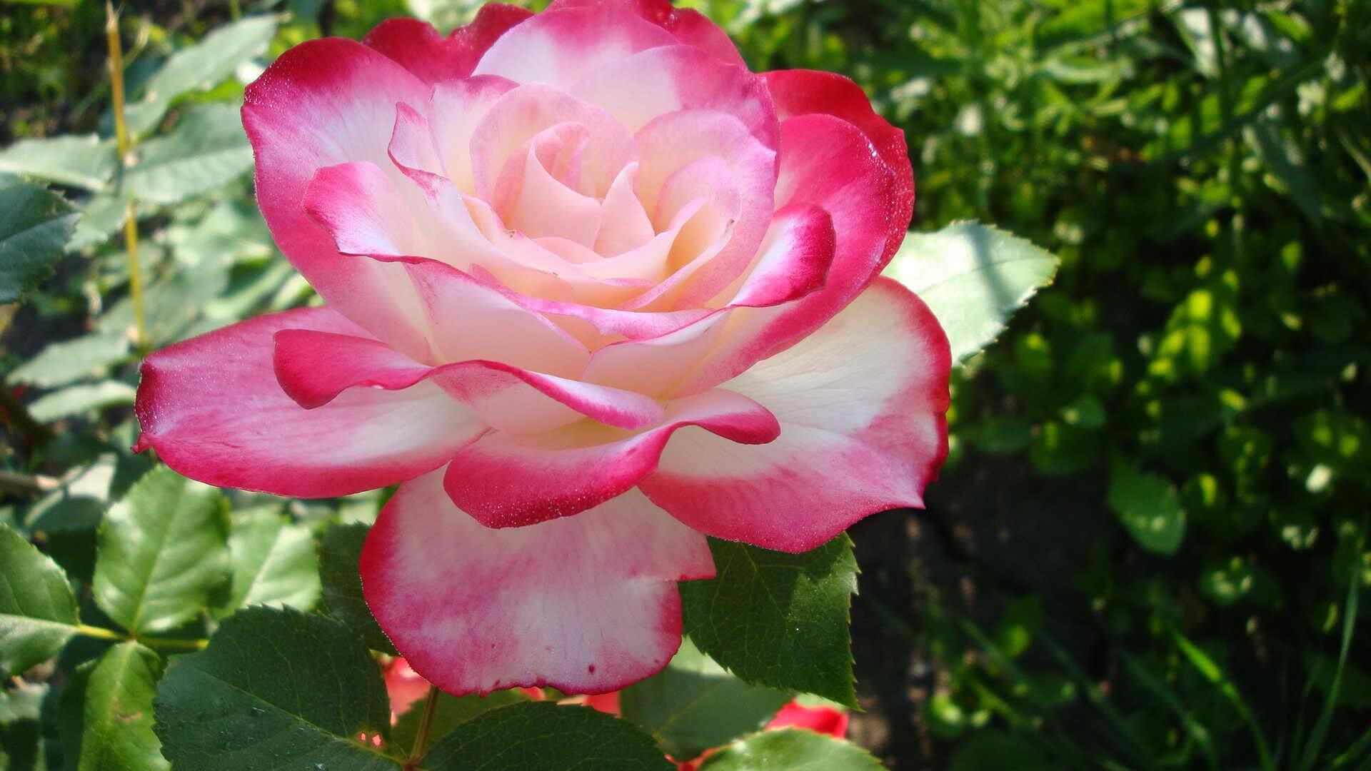 Основное описание розы «эксплорер» с фото и видео