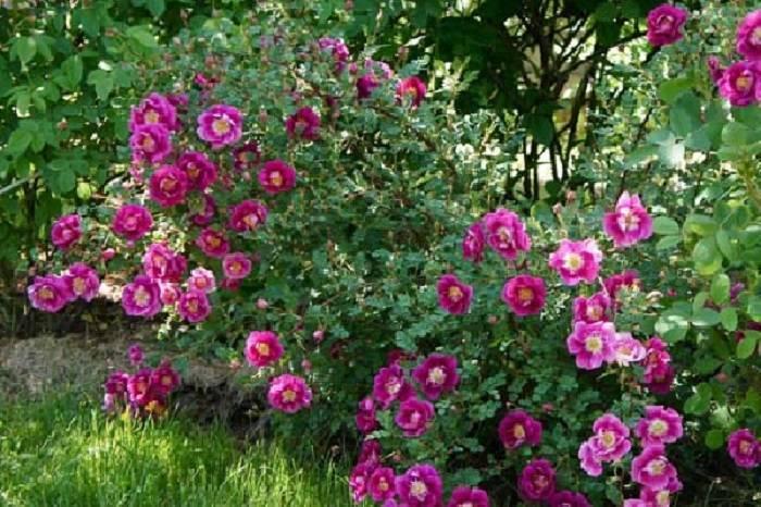 Парковая роза — что это такое, как выглядит