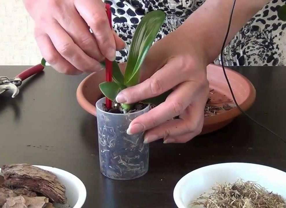 Орхидеи. правила ухода в домашних условиях, пересадка и болезни растения