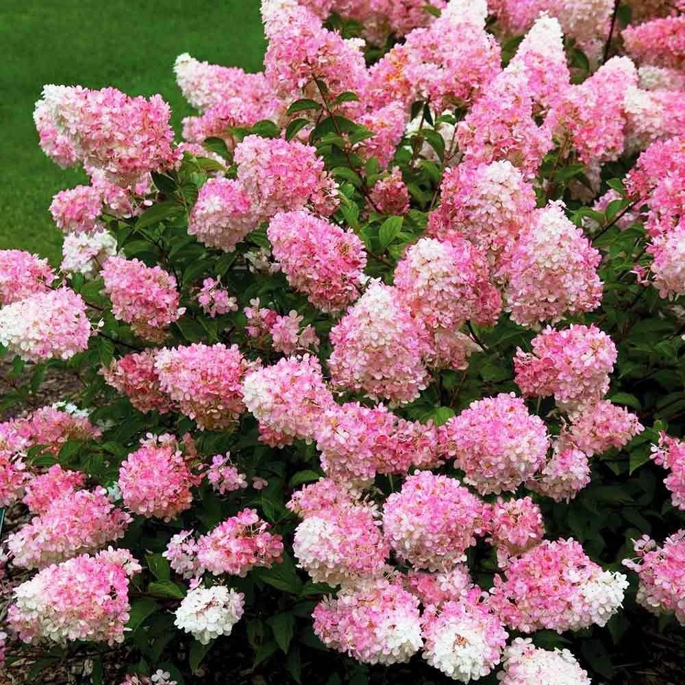 Гортензия пинк аннабель (pink annabelle)