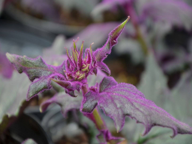 Гинура плетеносная: особенности выращивания и ухода в домашних условиях