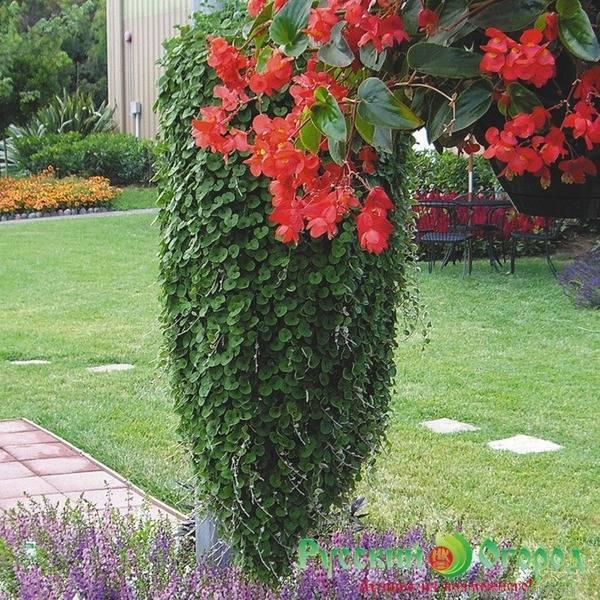 Особенности выращивания дихондры «серебристый водопад»