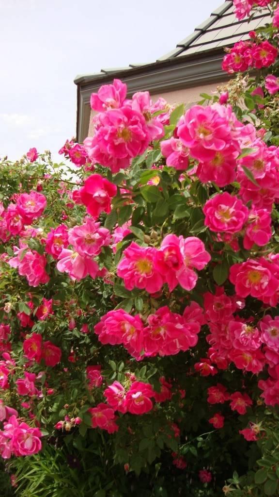Роза уильям баффин (william baffin) —описаний сорта