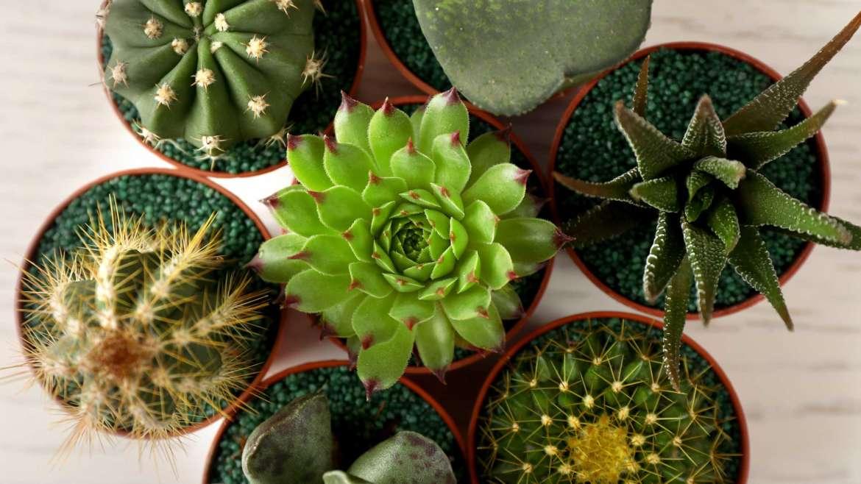 Примеры лучшей земли и почвы для кактуса: варианты создания грунта своими руками