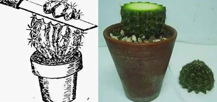 Размножение кактусов: как их рассадить в домашних условиях? как размножить кактус вегетативным способом: детками и черенками? как вырастить кактус без корней из отростка?
