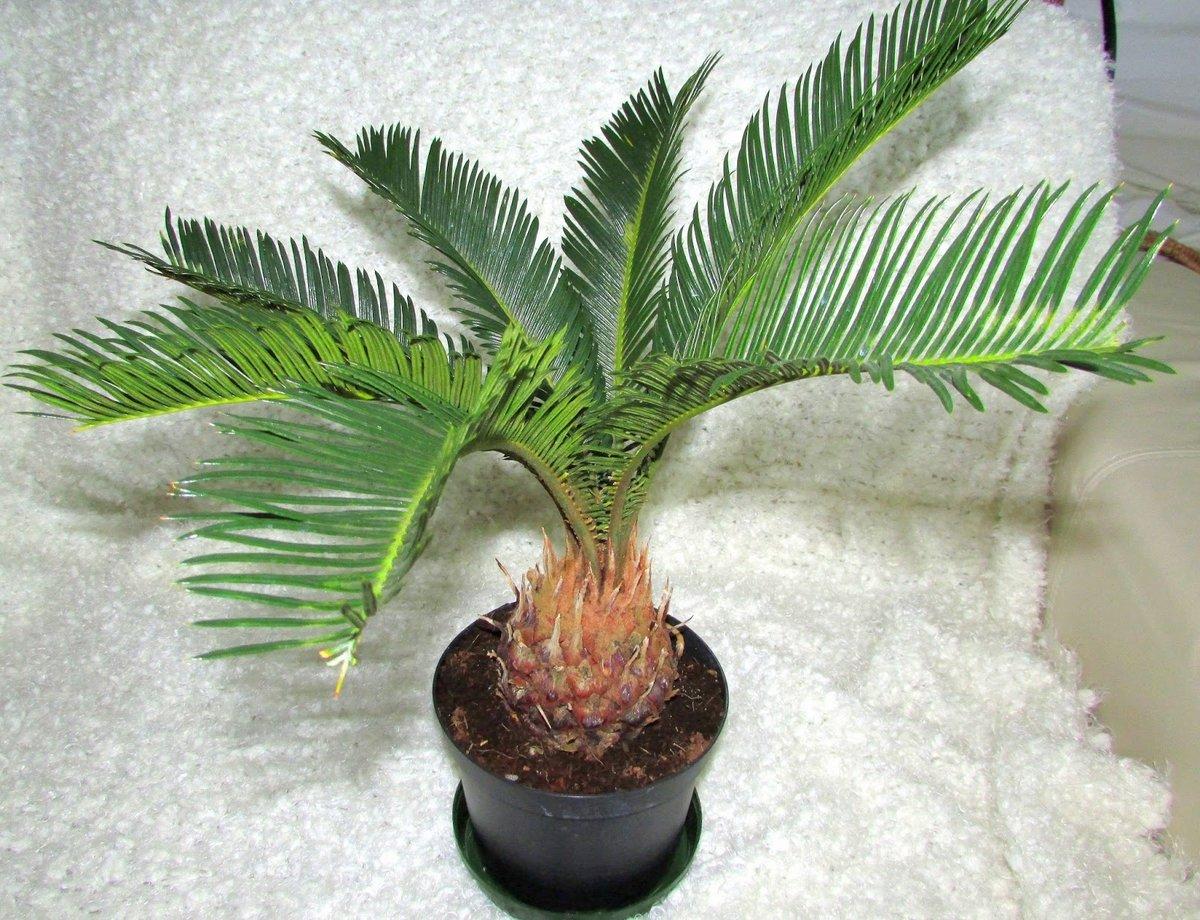 домой штор фото и названия пальмовых домашних растений только