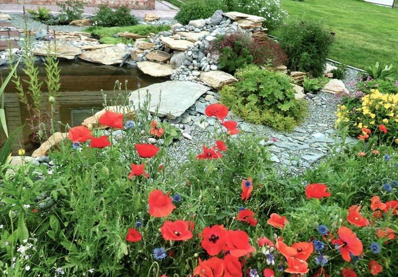 Мак на садовом участке: посадка, уход и выращивание