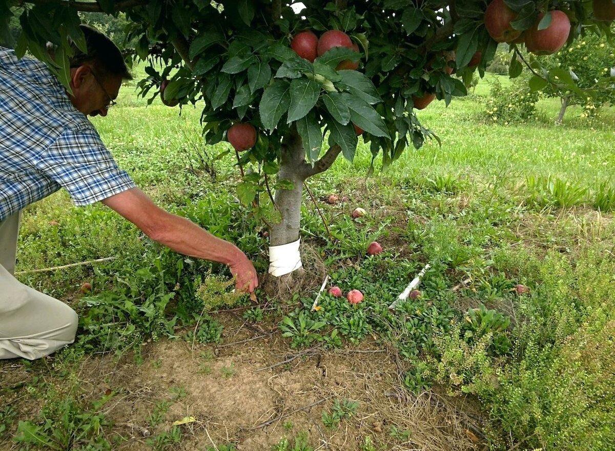 Особенности весенней подкормки плодовых деревьев и кустарников