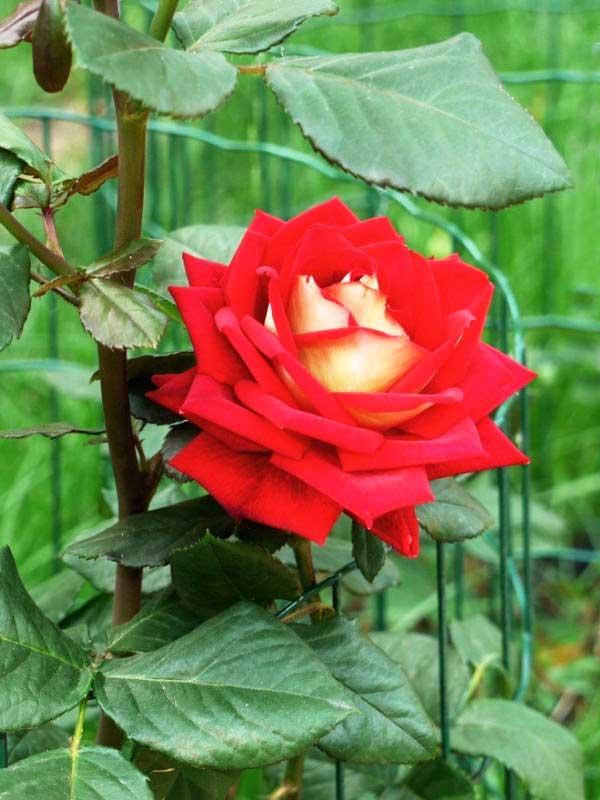 Выращивание гибридных роз (50 фото): в открытом грунте, из черенков, из семян, сорта, когда сажать, уход