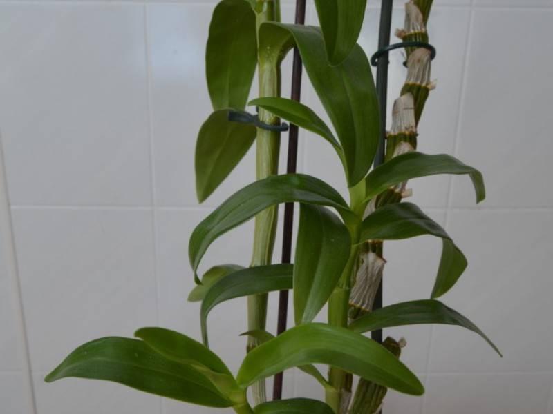 Посадка и выращивание орхидеи дендробиум дома: размножение, цветение, пересадка