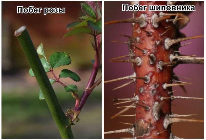 Как определить, роза или шиповник: основные отличия по листьям и побегам