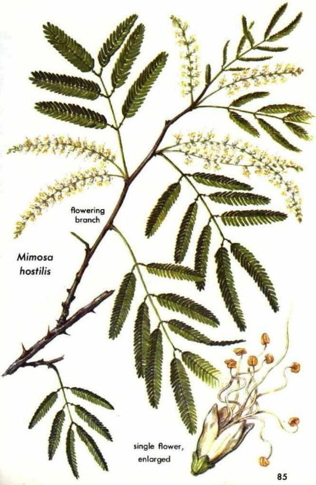 Mimosa tenuiflora — википедия переиздание // wiki 2