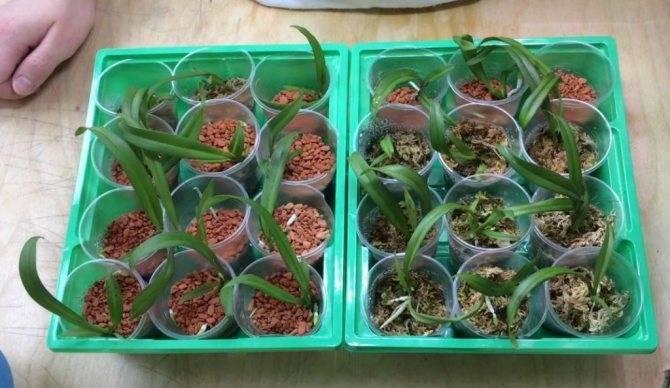 Орхидея из семян: посев в домашних условиях. советы для начинающих цветоводов