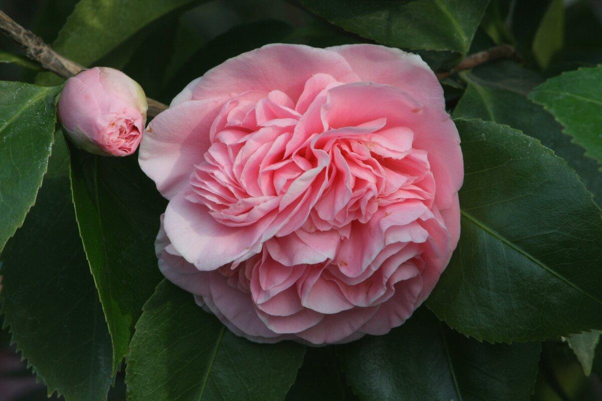 Комнатный цветок камелия: описание, посадка и уход в домашних условиях, размножение растения