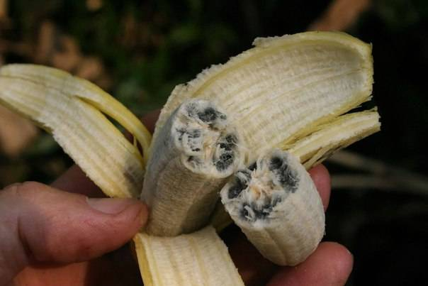 Банан комнатный -выращивание дома