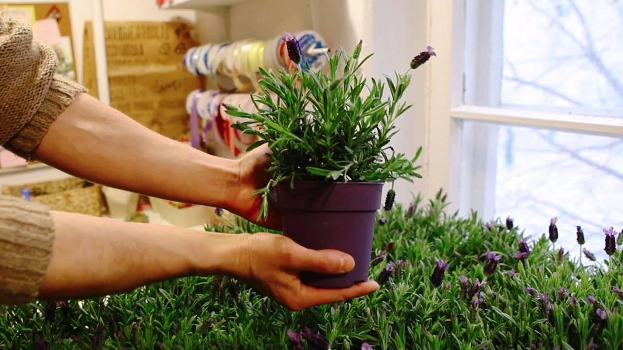 Уход за лавандой в домашних условиях, выращивание в горшке комнатной лаванды