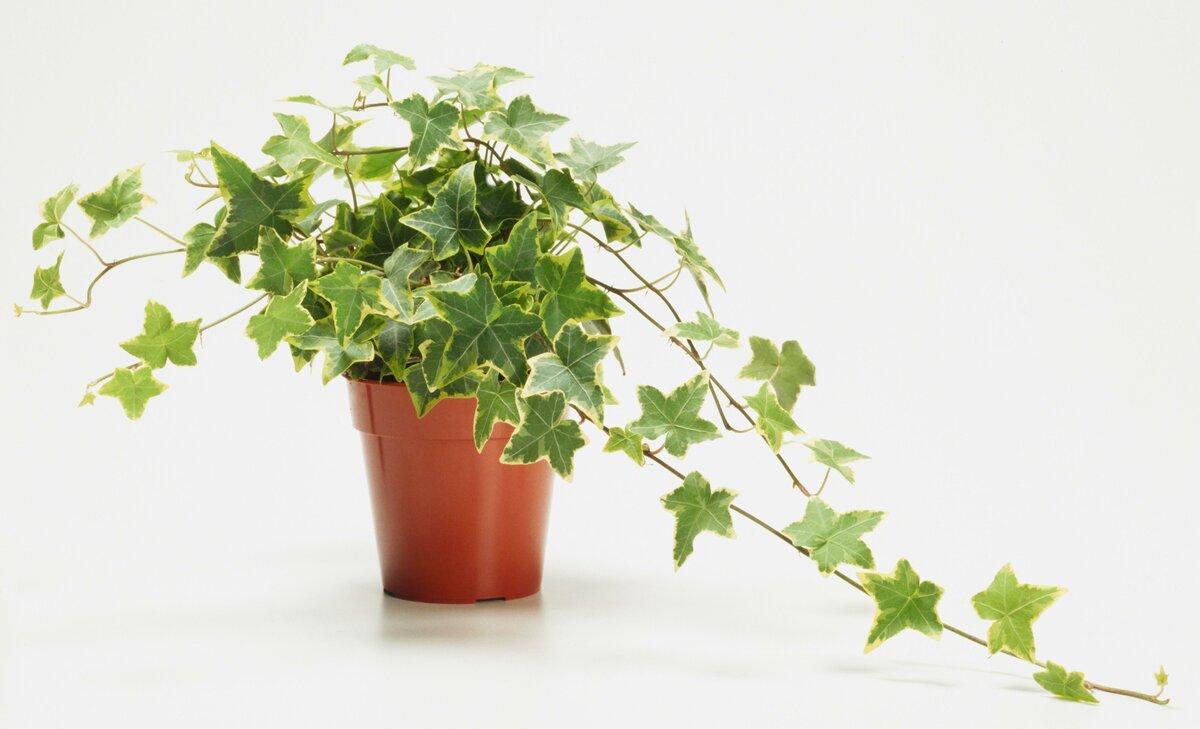Плющ комнатный: уход в домашних условиях, хедера хеликс: почему сохнут листья