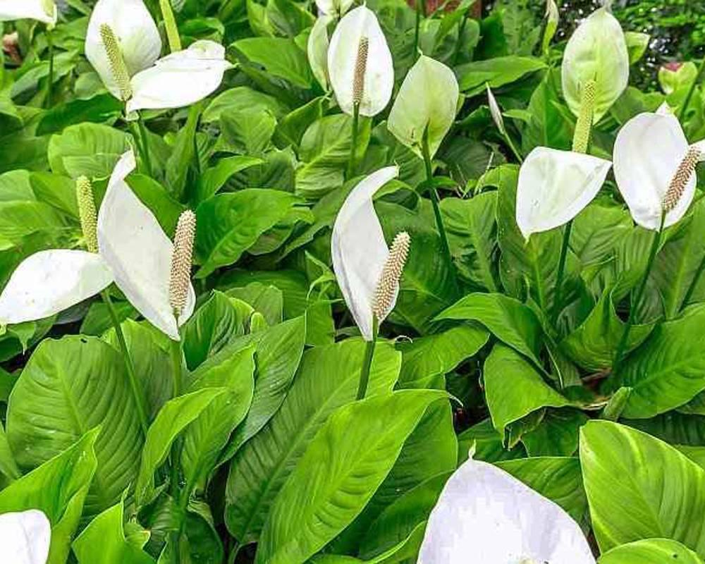 Как называется цветок женское счастье? спатифиллум: описание, посадка, уход, приметы