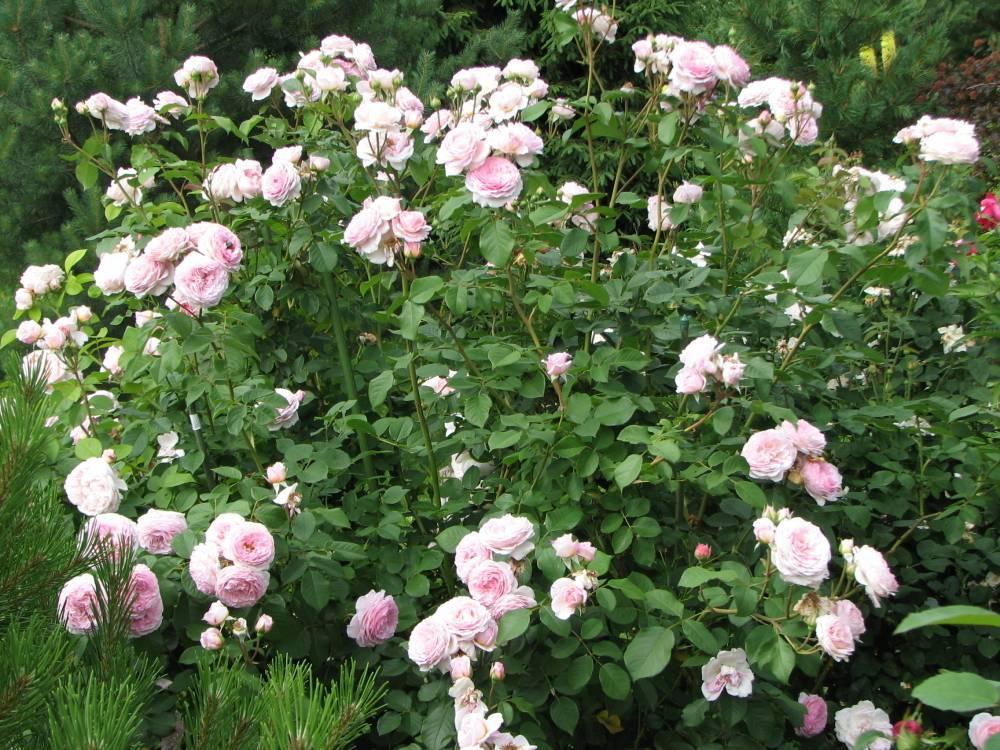 Характеристики розы сорта версилия: особенности чайно-гибридного растения, уход