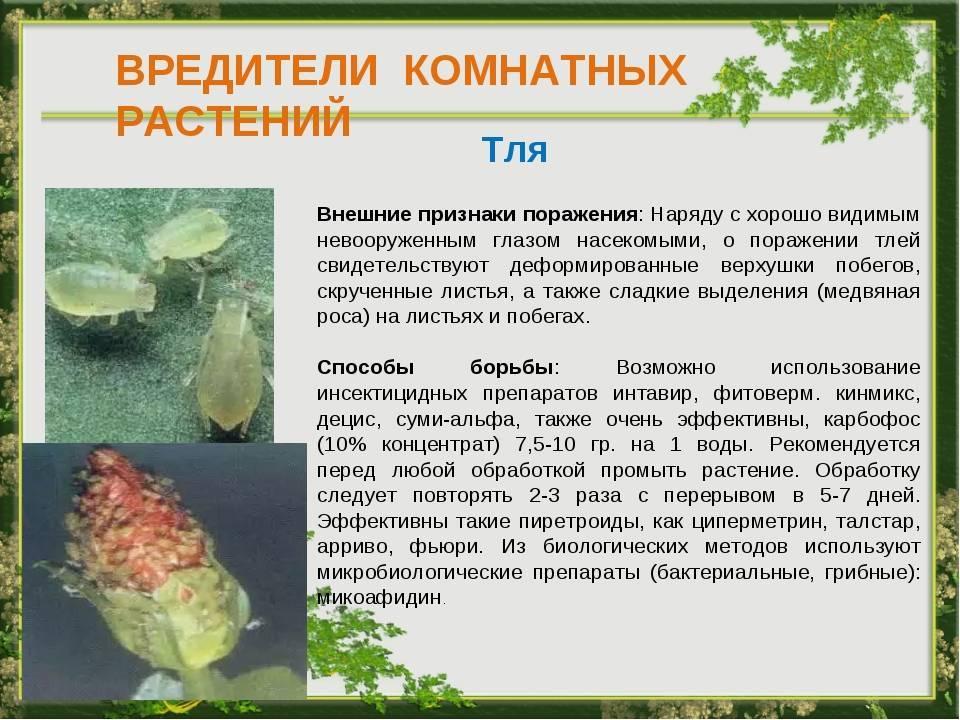 Болезни комнатных растений: бактериозы и вирусы, описание и фото, меры борьбы