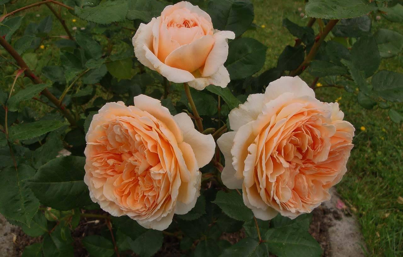 Роза принцесса маргарет
