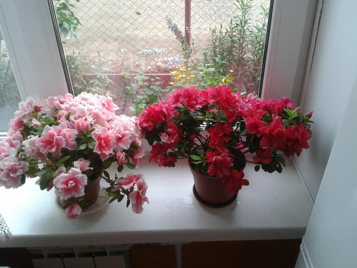 Азалия: уход в домашних условиях с фото, а также как поливать комнатный цветок и обрезать после покупки