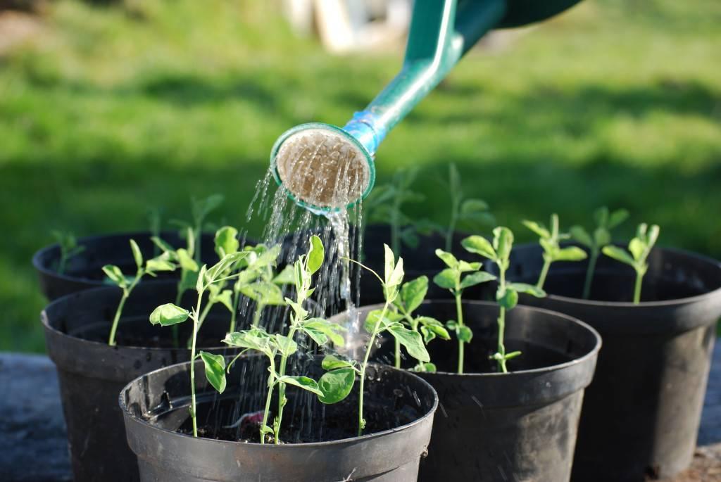 Выращивание аспарагуса мейера: как посадить, ухаживать, удобрять, размножать