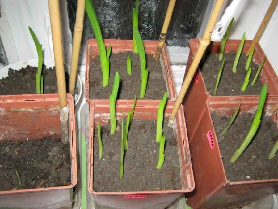 Фрезия выращивание и уход в открытом грунте