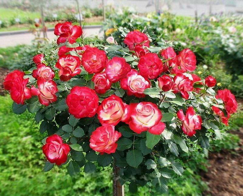 Роза мидсаммер: описание растения, отличие от остальных видов, а также рекомендации по уходу и фото цветка
