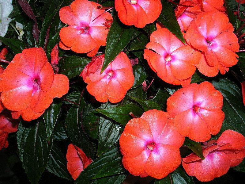 Комнатный цветок огонек