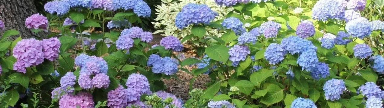 Выращивание садовой гортензии на урале в открытом грунте: посадка и уход, сорта
