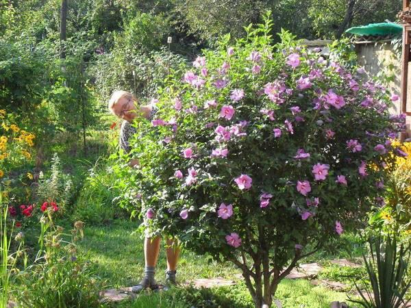 Дерево гибискус: посадка и уход, размножение черенками