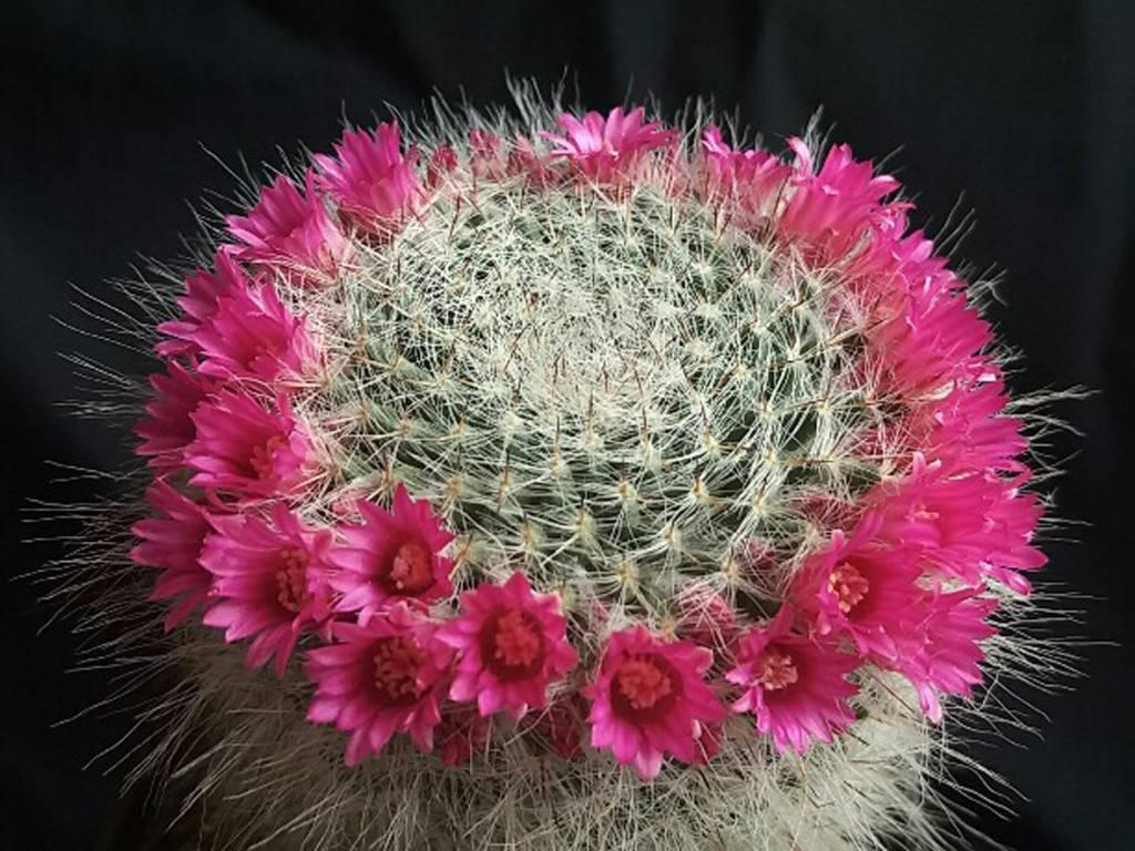 Цветущий кактус маммиллярия: описание видов и уход - энциклопедия цветов