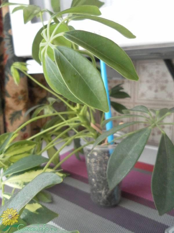 Варианты размножения шеффлеры: черенками, листом и другие примеры