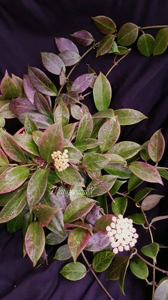 Хойя куртиси (hoya curtisii): описание и фото, советы по уходу за ней, а также особенности выращивания и методы борьбы с вредителями и болезнями