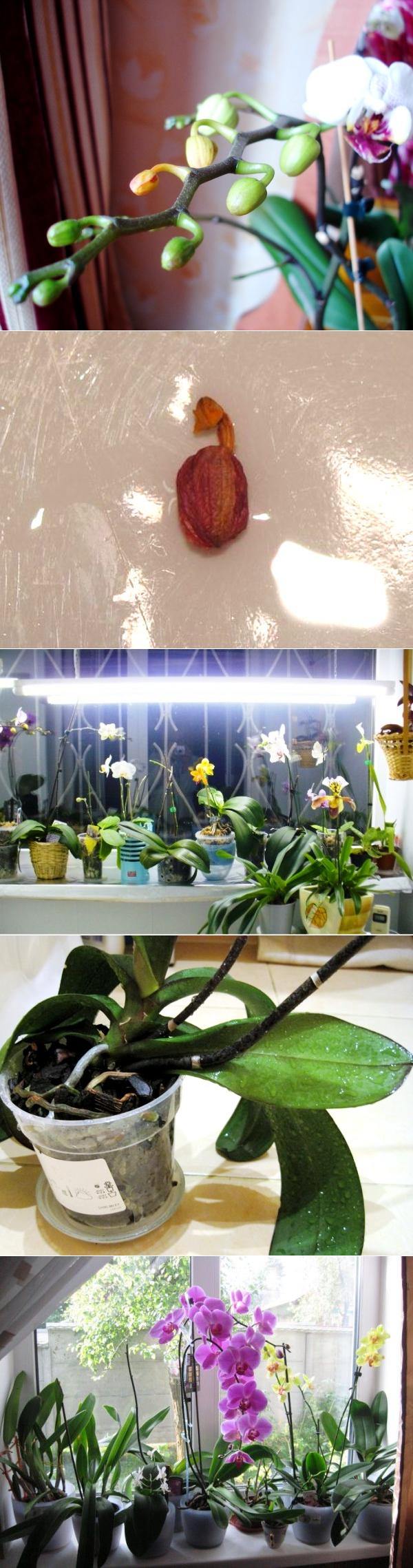 По каким причинам опадают бутоны у орхидеи