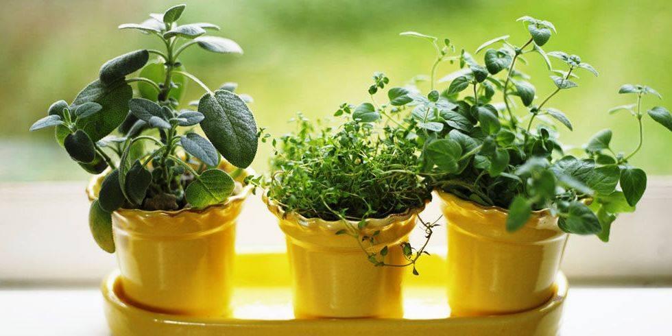 Технология выращивания мяты в домашних условиях: способы и правильный уход