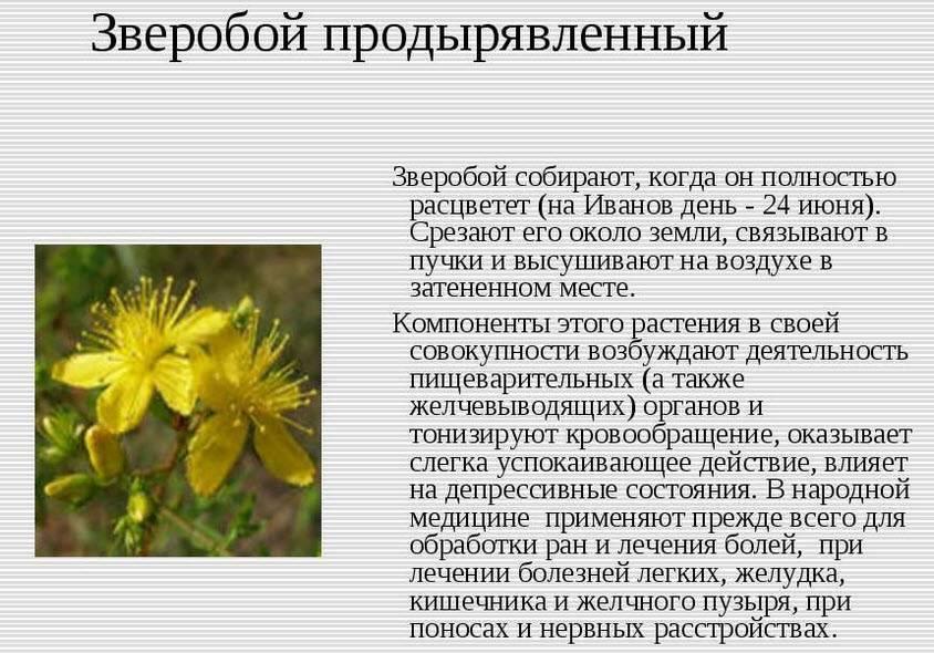 Полезный крестовник якова (обыкновенный) в природе и дома