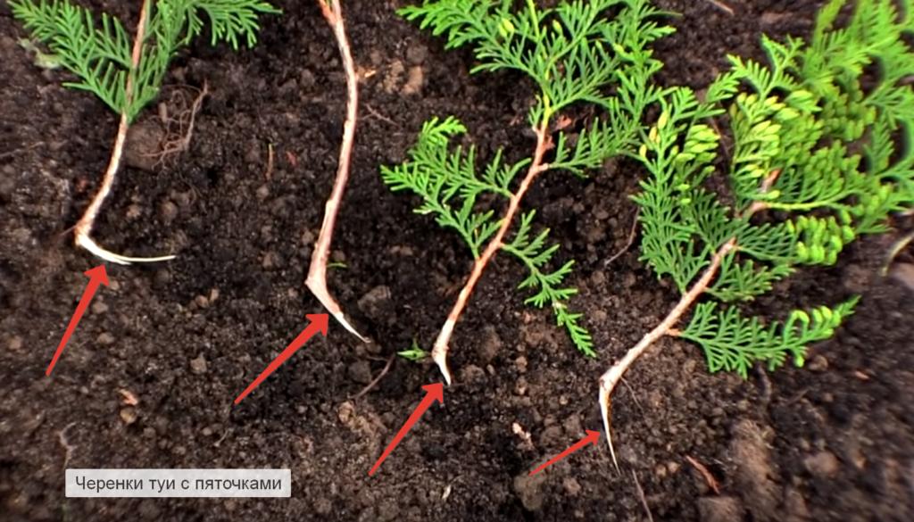 В чем секрет размножения туи черенкованием?