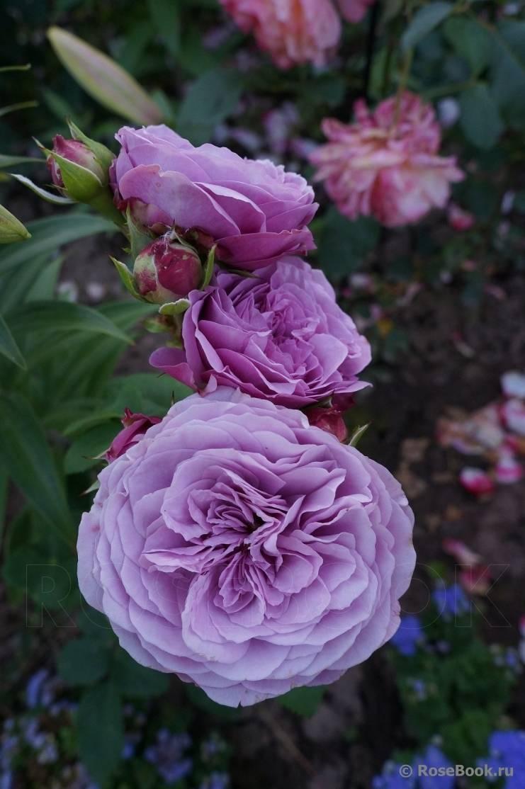 Описание почвопокровной розы-шраб сорта надя мейяндекор: агротехника