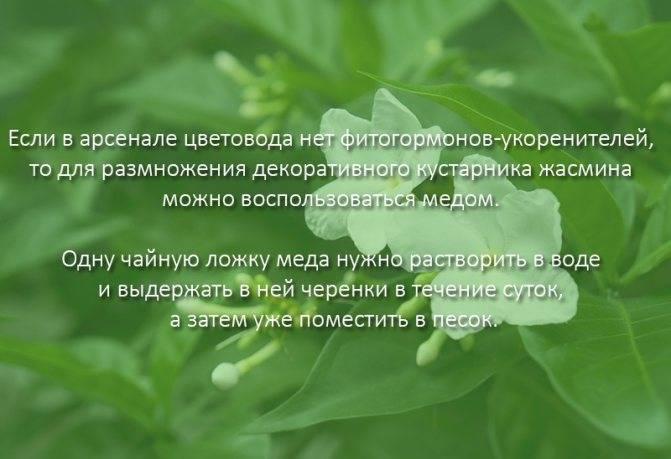 Причины отсутствия цветения и роста и способы их устранения у жасмина садового