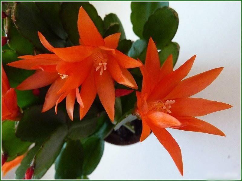 Рипсалидопсис (35 фото): отличия цветка от шлюмбергеры (декабриста), разновидности и уход в домашних условиях