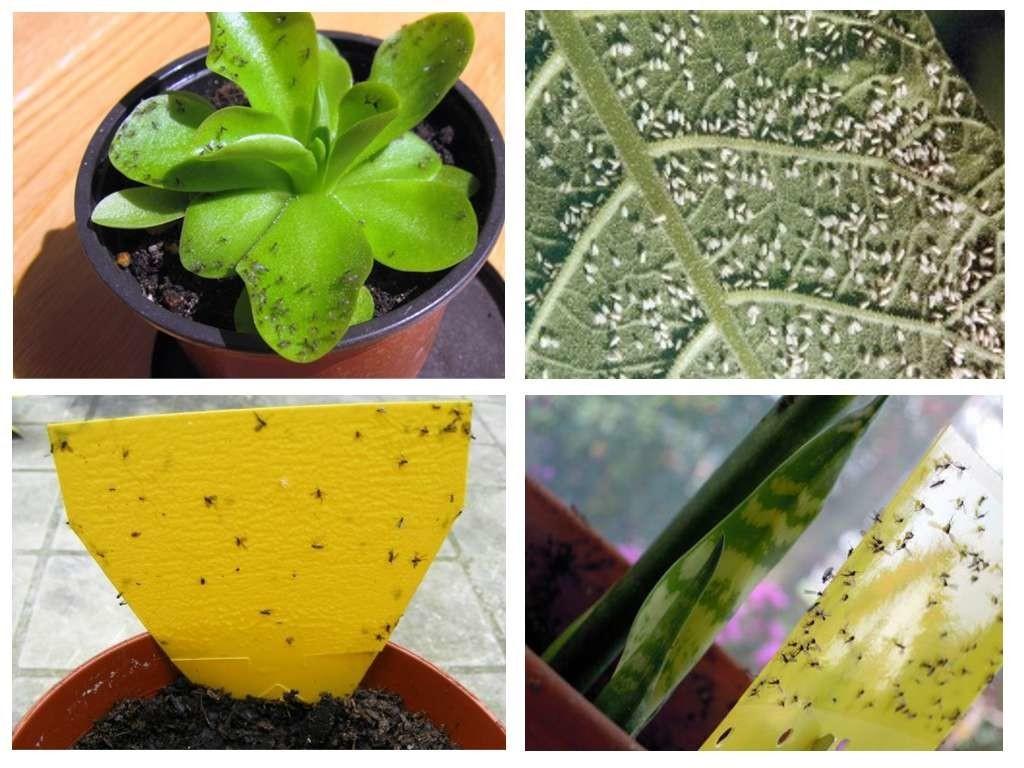 Как избавиться от мошек в цветочных горшках – все способы