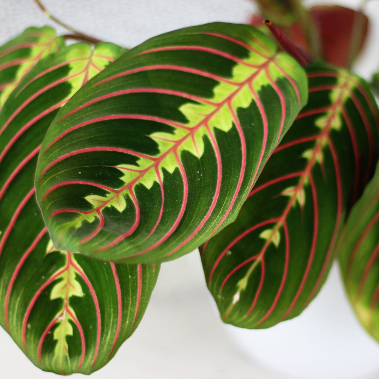 Комнатная крапива или колеус: растение, похожее на крапиву, красное, фиолетовое