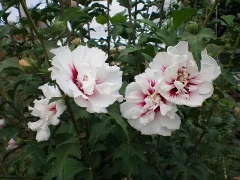 Прекрасная китайская роза, или гибискус садовый: описание уличных разновидностей с фото и выращивание