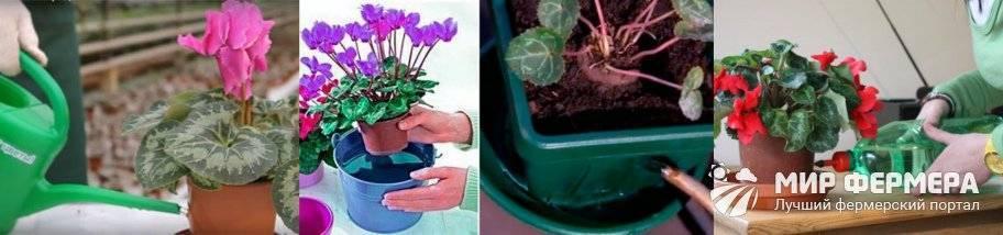 Правильный полив цикламена в домашних условиях летом и зимой: как часто поливать