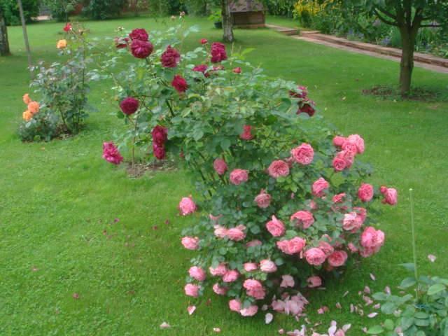 Роза леонардо да винчи: выращивание, фото и описание - общая информация - 2020