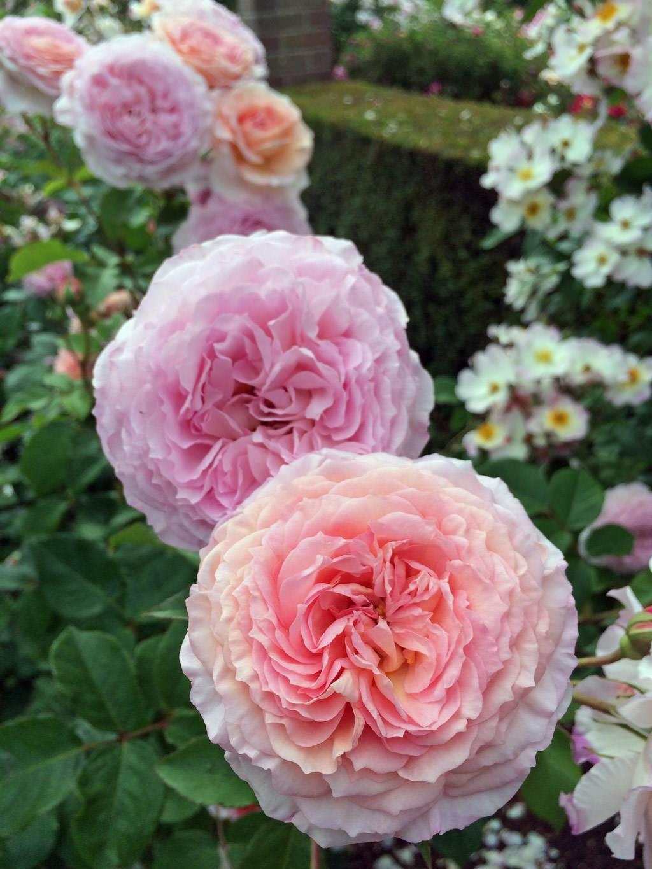 Роза афродита (aphrodite) — описание сорта