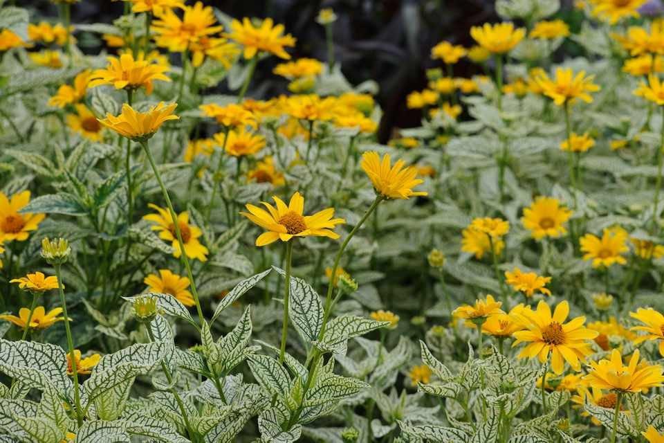 Солнечный цветок гелиопсис многолетний: посадка и уход, фото, полив и обрезка куста, способы размножения и другие нюансы выращивания растения
